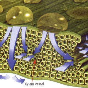 xylem-vessel